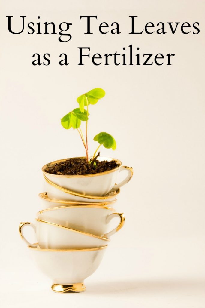 Using Tea Leaves as a Fertilizer - Don't toss your used tea leaves! Share them with your plants!