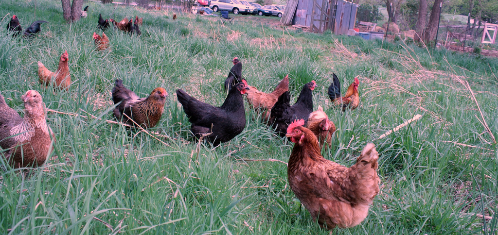 Preparing to Raise Chickens